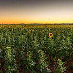 Les tournesols vont se coucher... bonne nuit ! par Sam Azln - Valensole 04210 Alpes-de-Haute-Provence Provence France
