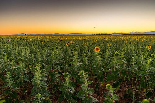 Les tournesols vont se coucher... bonne nuit ! by Sam Azln