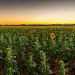 Les tournesols vont se coucher... bonne nuit ! by Sam Azln - Valensole 04210 Alpes-de-Haute-Provence Provence France