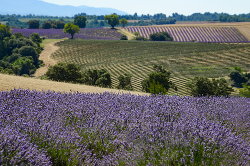 Rolling Fields of Lavender by Jonathan Sharpe, Photographer