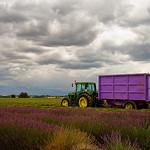 Lavender's harvest time by  - Valensole 04210 Alpes-de-Haute-Provence Provence France
