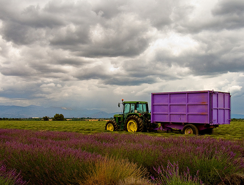 Lavender's harvest time by piautel
