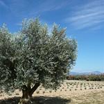Plateau de Valensole : Olivier, laurier, lavande... by Margotte apprentie naturaliste 2 - Valensole 04210 Alpes-de-Haute-Provence Provence France
