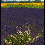 Contrastes de couleurs du sud à Valensole by Patchok34 - Valensole 04210 Alpes-de-Haute-Provence Provence France