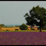 Couleurs de Valensole by Patchok34 - Valensole 04210 Alpes-de-Haute-Provence Provence France