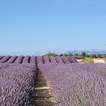 Alignements de lavande - Valensole by Charlottess - Valensole 04210 Alpes-de-Haute-Provence Provence France