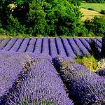 Valensole en violet par Mati* - Valensole 04210 Alpes-de-Haute-Provence Provence France
