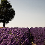July purple morning in Provence par shiningarden - Valensole 04210 Alpes-de-Haute-Provence Provence France