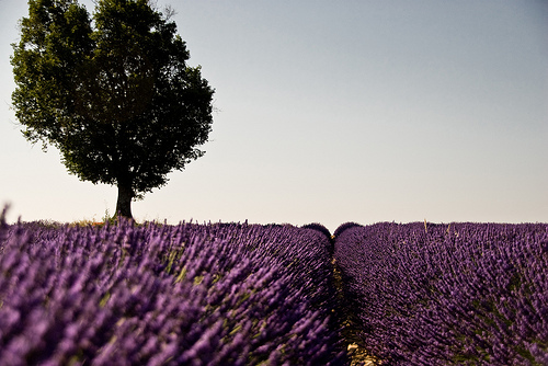 July purple morning in Provence by shiningarden
