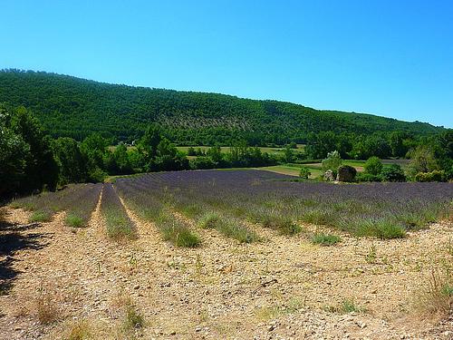 Champ de lavande sur le plateau de Valensole by nic( o )