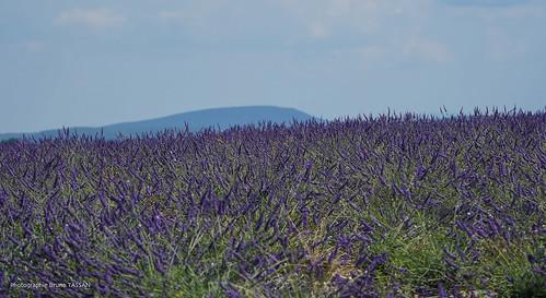 Valensole : lavande et Mont-Ventoux en fond par Bruno TASSAN