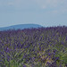 Valensole : lavande et Mont-Ventoux en fond par Bruno TASSAN - Valensole 04210 Alpes-de-Haute-Provence Provence France