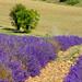 Valensole - la magie des lavandes by Bruno JOURET - Valensole 04210 Alpes-de-Haute-Provence Provence France