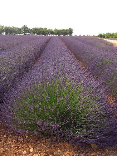 Rangées de violet par Patrizia1966