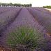 Rangées de violet par Patrizia1966 - Valensole 04210 Alpes-de-Haute-Provence Provence France