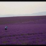 Valensole, paysage violet par Riccardo Giani Travel Photography - Valensole 04210 Alpes-de-Haute-Provence Provence France