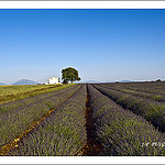 Le plateau de valensole le royaume de la lavande. by  - Valensole 04210 Alpes-de-Haute-Provence Provence France
