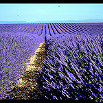 Champs de Lavande sans fin by  - Valensole 04210 Alpes-de-Haute-Provence Provence France