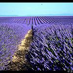 Champs de Lavande sans fin par domleg - Valensole 04210 Alpes-de-Haute-Provence Provence France