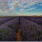 Champs de Lavandin sur le plateau de Valensole by Charlottess - Valensole 04210 Alpes-de-Haute-Provence Provence France