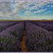 Champs de Lavandin sur le plateau de Valensole par Charlottess - Valensole 04210 Alpes-de-Haute-Provence Provence France