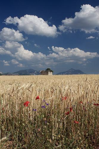 Champs de blé sur le Plateau de Valensole by Christopher Swan