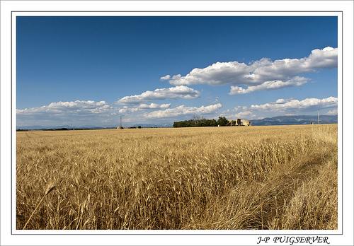 Plateau de Valensole et ses champs de blé by PUIGSERVER JEAN PIERRE