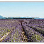 Les champs de lavande du plateau de Valensole by PUIGSERVER JEAN PIERRE - Valensole 04210 Alpes-de-Haute-Provence Provence France