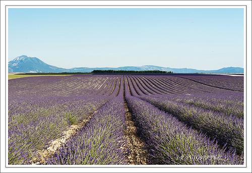 Les champs de lavande du plateau de Valensole by PUIGSERVER JEAN PIERRE