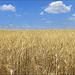 fields of gold... par leuntje - Valensole 04210 Alpes-de-Haute-Provence Provence France