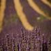 Rayure de lavande infinie par Pizeta76 - Valensole 04210 Alpes-de-Haute-Provence Provence France