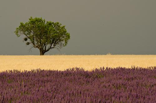 Carte postale de Provence : Vert jaune violet par Pizeta76