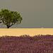 Carte postale de Provence : Vert jaune violet par Pizeta76 - Valensole 04210 Alpes-de-Haute-Provence Provence France