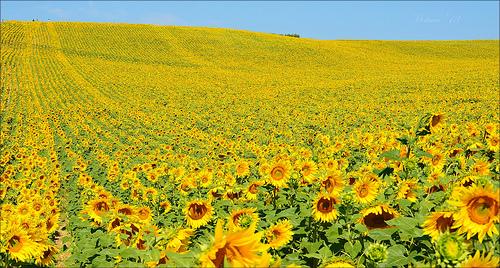 Look at me ! Sunflower  par miriam259