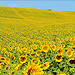 Look at me ! Sunflower  by miriam259 - Valensole 04210 Alpes-de-Haute-Provence Provence France