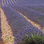 Les lavandes à perte de vue en Haute-Provence par Michel Seguret - Valensole 04210 Alpes-de-Haute-Provence Provence France