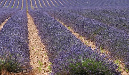 Les lavandes à perte de vue en Haute-Provence par Michel Seguret