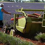 La moisson de la lavande a commencé ! par Michel Seguret - Valensole 04210 Alpes-de-Haute-Provence Provence France
