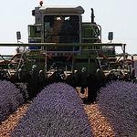 Récolteuse de lavande - Moisson de la lavande par Michel Seguret - Valensole 04210 Alpes-de-Haute-Provence Provence France