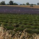 Champ de lavandes à moitié récolté en Haute-Provence par Michel Seguret - Valensole 04210 Alpes-de-Haute-Provence Provence France