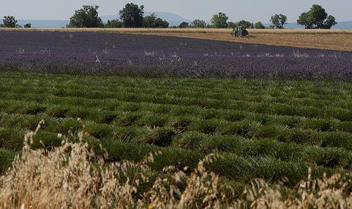 Champ de lavandes à moitié récolté en Haute-Provence par Michel Seguret