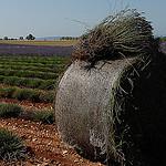 Ballot et pied de lavande par Michel Seguret - Valensole 04210 Alpes-de-Haute-Provence Provence France
