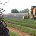 Moisson de la lavande par Michel Seguret - Valensole 04210 Alpes-de-Haute-Provence Provence France