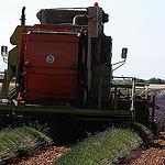 Moisson de la lavande : l'heure de la récolte par Michel Seguret - Valensole 04210 Alpes-de-Haute-Provence Provence France