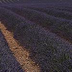 Lavandes en Haute-Provence : champs très bien entretenu by Michel Seguret - Valensole 04210 Alpes-de-Haute-Provence Provence France