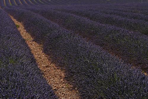 Lavandes en Haute-Provence : champs très bien entretenu par Michel Seguret
