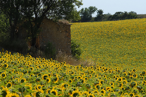 Tournesols en Haute-Provence par Michel Seguret