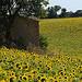 Tournesols en Haute-Provence by Michel Seguret - Valensole 04210 Alpes-de-Haute-Provence Provence France