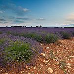 Lavandes par Tony N. - Valensole 04210 Alpes-de-Haute-Provence Provence France