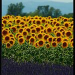 Lavande et tournesols de Provence by  - Valensole 04210 Alpes-de-Haute-Provence Provence France